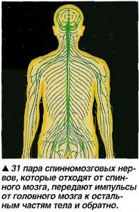 31 пара спинномозговых нервов