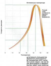 Активность большинства ферментов увеличивается до температуры 40°С