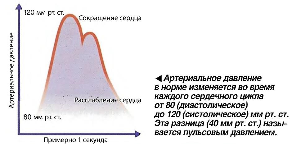 Артериальное давление в норме изменяется во время каждого сердечного цикла от 80 до 120 мм рт. ст.