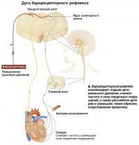 Барорецепторный рефлекс компенсирует подъем артериального давления