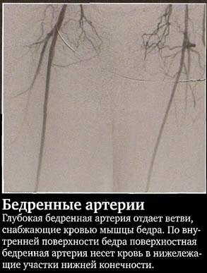 Бедренные артерии