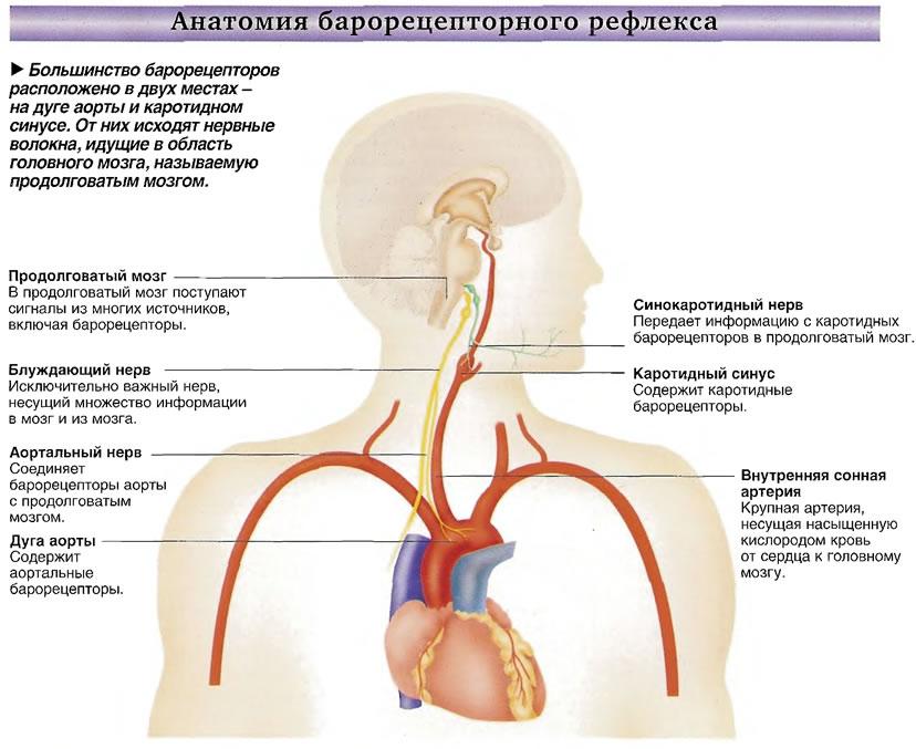 Большинство барорецепторов расположено в двух местах -на дуге аорты и каротидном синусе