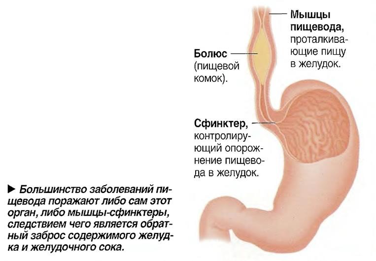 Большинство заболеваний пищевода поражают либо сам этот орган, либо мышцы-сфинктеры