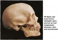 Череп, как и все кости, обладает прочностью за счет соединения кальция с белком коллагеном