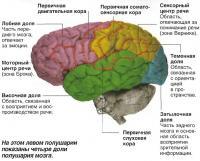 Четыре доли полушария мозга
