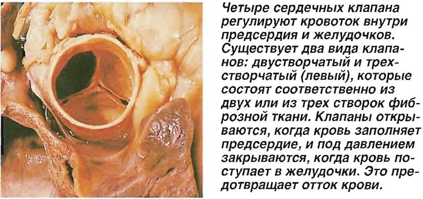 Четыре сердечных клапана регулируют кровоток внутри предсердия и желудочков