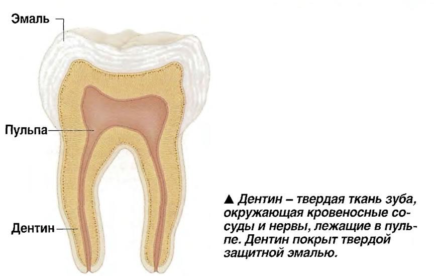 Дентин - твердая ткань зуба, окружающая кровеносные сосуды и нервы