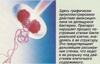 Действие амоксициллина на делящуюся бактерию
