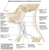 Действие надподъязычных и подподьязычных мышц
