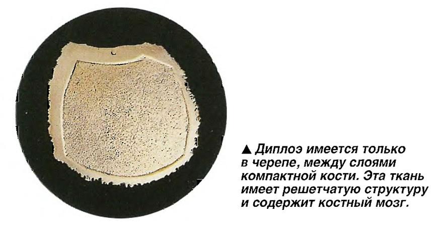 Диплоэ имеется только в черепе, между слоями компактной кости