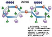 Дисахариды состоят из двух молекул моносахаридов