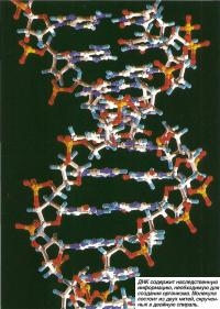 ДНК содержит наследственную информацию, необходимую для создания организма