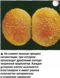 Дробление оплодотворенной яйцеклетки