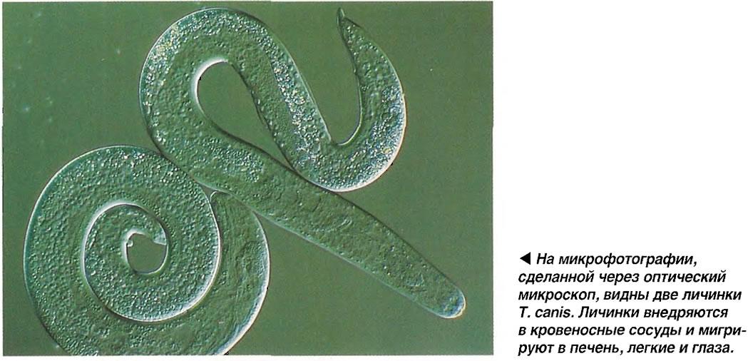 Две личинки Т. canis.
