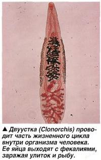 Двуустка (Clonorchis)