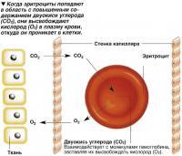 Эритроциты высвобождают кислород в плазму крови