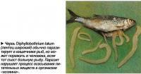 ервь Diphyllobothrium latum  (лентец широкий) обычно паразитирует в кишечнике рыб