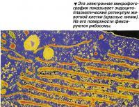 Эта электронная микрофотография показывает эндоцито-плазматический ретикулум животной клетки