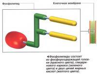 Фосфолипиды состоят из фосфорсодержащей головки, глицеринового каркаса и двух цепей жирных кислот