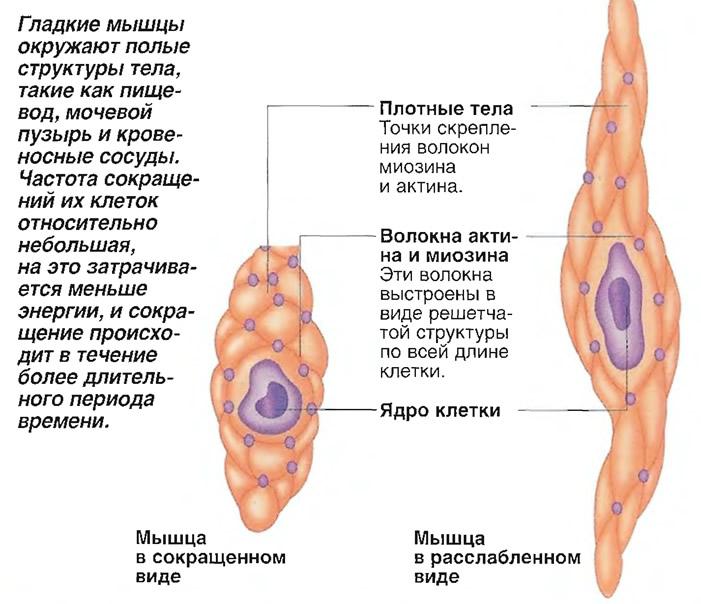 Мышца Гладкая
