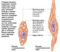 Гладкие мышцы окружают полые структуры тела