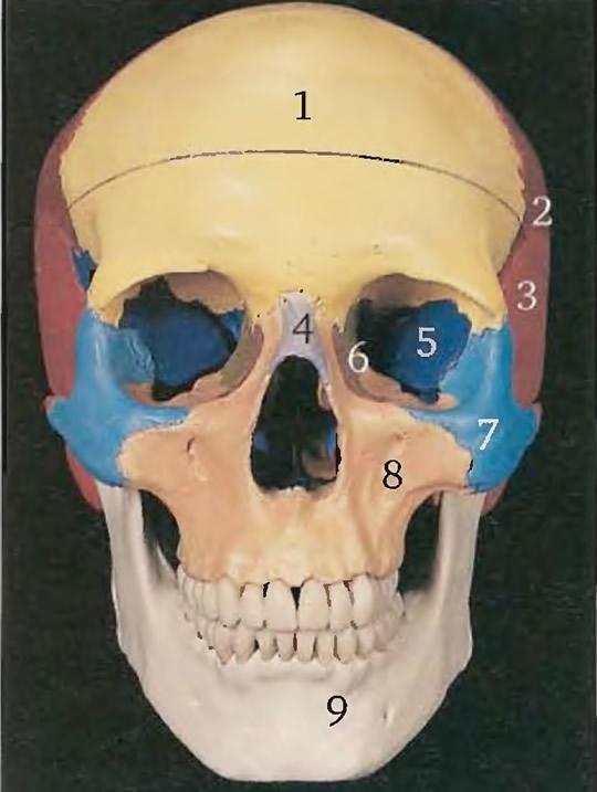 Главные кости головы