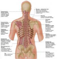 Глубокие мышцы спины
