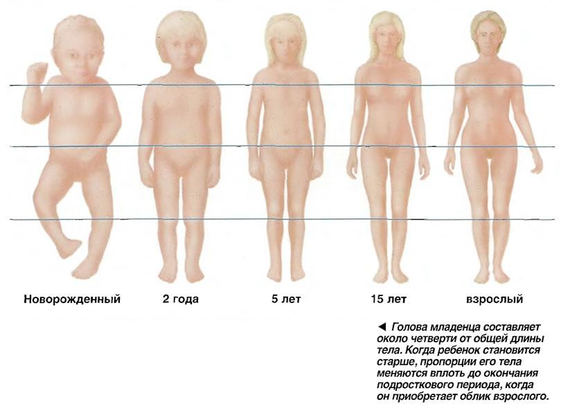 Голова младенца составляет около четверти от общей длины тела