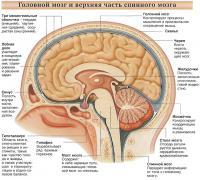 Головной мозг и верхняя часть спинного мозга