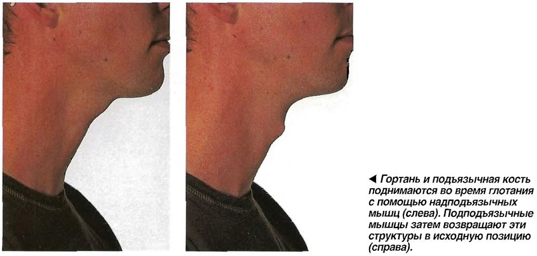 Анатомия: подъязычная кость.