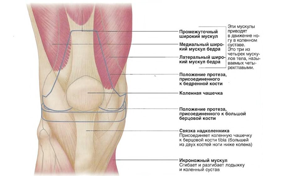 Группы мускулов, задействованные при замене коленного сустава
