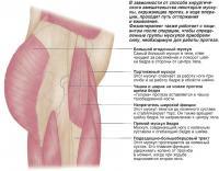 Группы мускулов, задействованных при протезировании шейки бедра