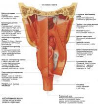 Изображение мышц глотки на частичном разрезе, вид сзади