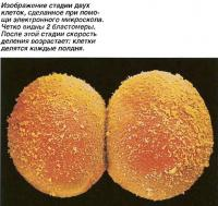 Изображение стадии двух клеток