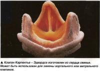 Клапан Карпентье - Эдвардса изготовлен из сердца свиньи