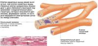 Клетки сердечных мышц менее вытянутые, чем клетки скелетных мышц