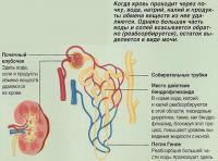 Когда кровь проходит через почку, продукты обмена веществ из нее удаляются