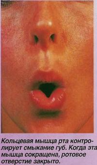 Кольцевая мышца рта контролирует смыкание губ