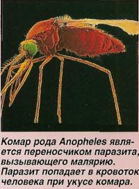 Комар рода Anopheles является переносчиком паразита, вызывающего малярию