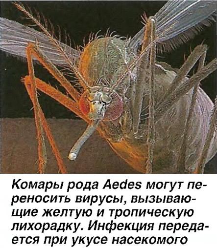 Комары рода Aedes могут переносить вирусы, вызывающие желтую и тропическую лихорадку