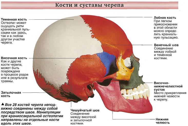 Кости и суставы черепа