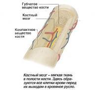 Костный мозг - мягкая ткань в полости кости