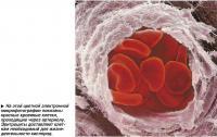 Красные кровяные клетки