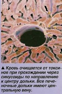 Кровь очищается от токсинов при прохождении через синусоиды по направлению к центру дольки