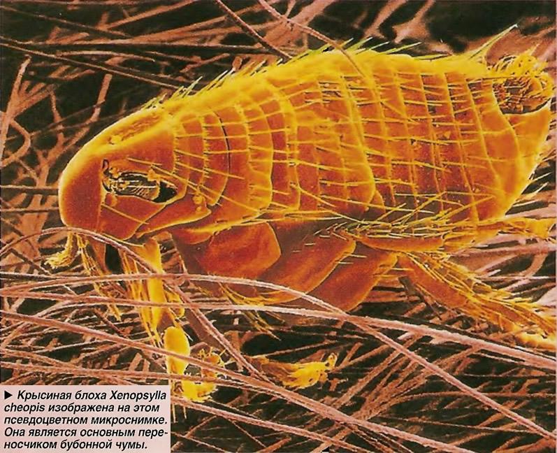 Крысиная блоха Xenopsylla cheopis