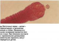 Ленточные черви - цепни -паразитируют в организме кошек и собак