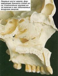 Лицевые кости черепа