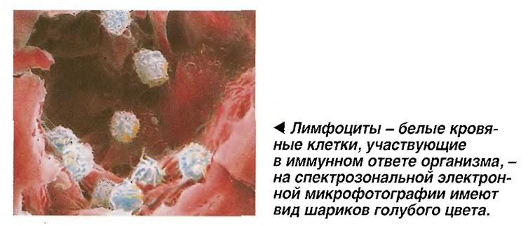 Лимфоциты - белые кровяные клетки, участвующие в иммунном ответе организма
