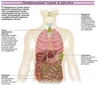 Лимфоидные органы располагаются в различных частях тела