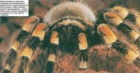 Мексиканский красный тарантул